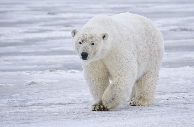 Polar bears face starvation and later extinction