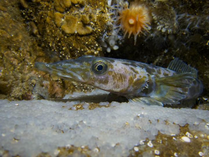 New study exposes negative effects of climate change on Antarctic fish