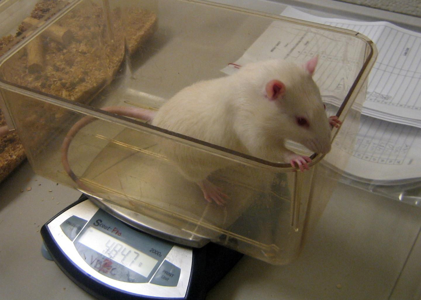 Mouse being weighed. Credit: Lauren Chaby/Penn State