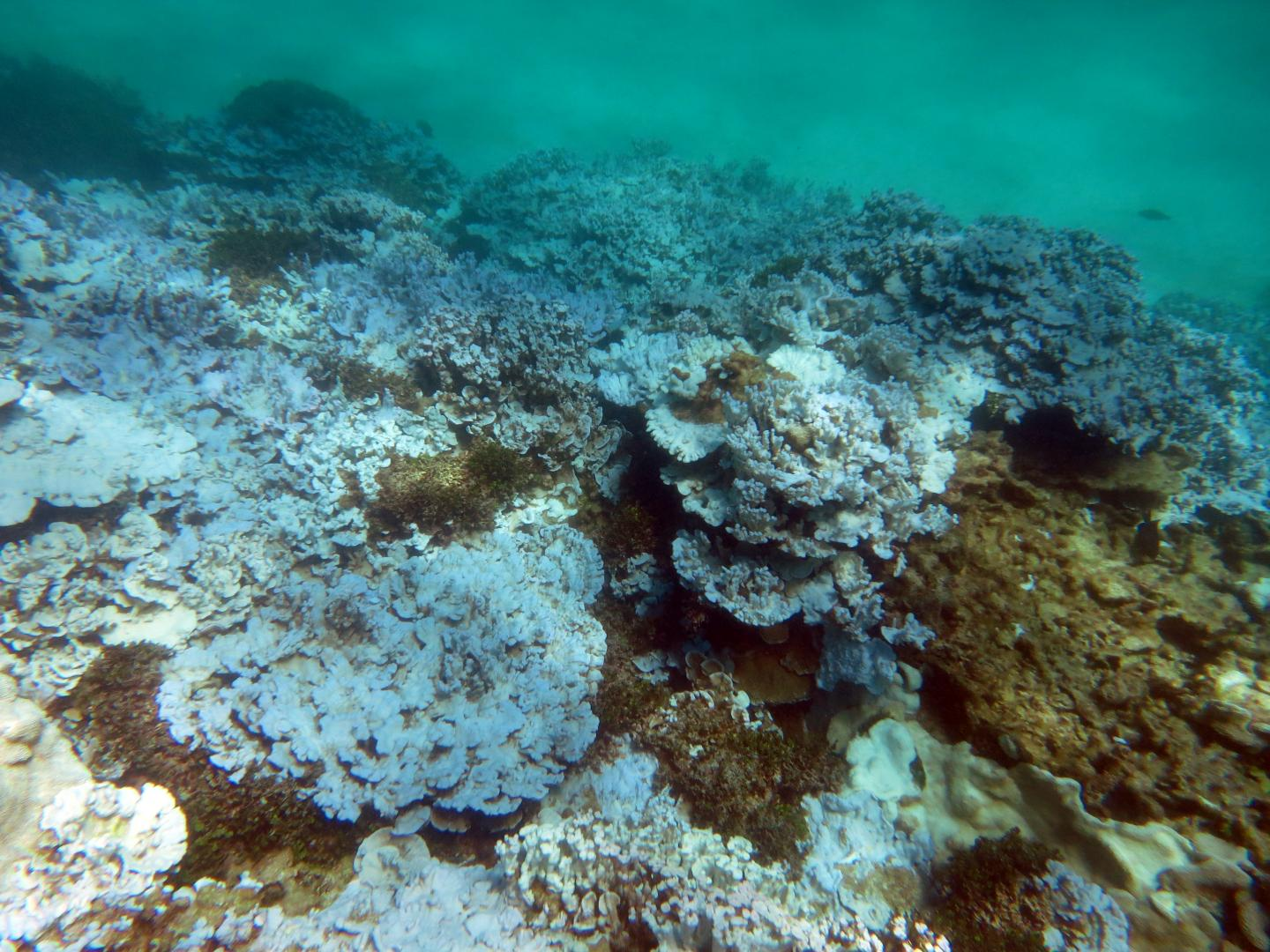 This is an extensive stand of severely bleached coral at Lisianski Island in Papahanaumokuakea Marine National Monument (Hawaii) documented during an August 2014 NOAA research mission. Credit: NOAA