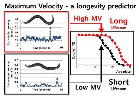 This image depicts maximum velocity as a longevity predictor. Credit: Institute for Basic Science