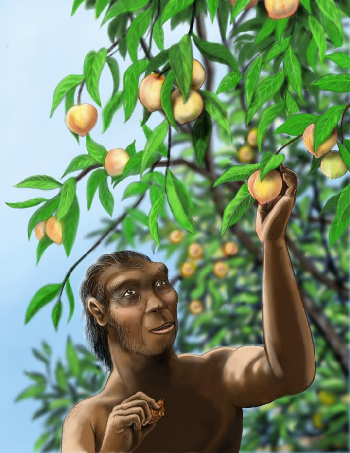 Homo erectus, a long-extinct hominid species, may have enjoyed peaches much like those we eat today. Peach fossils more than 2.5 million years old have been discovered in China. Credit: Rebecca Wilf