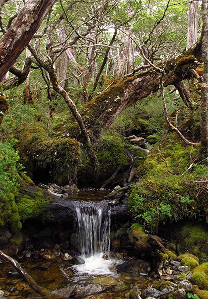 This is a liverwort rich forest in Isla Darwin, Tierra del Fuego, Chile. Credit: Juan Larrain