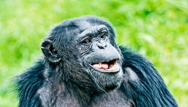 Could apes ever learn to speak like people?