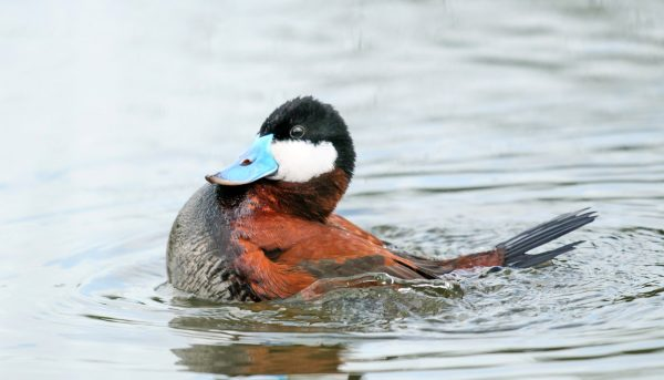 When male ducks compete, their penises get bigger
