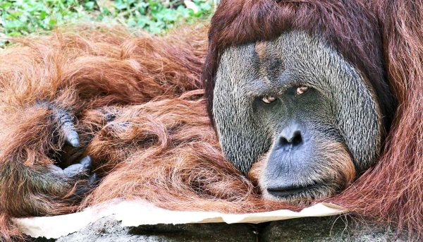 Orangutans aren't as leery of us as we thought