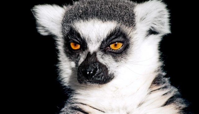 Ring-tailed lemurs can actually smell weakness